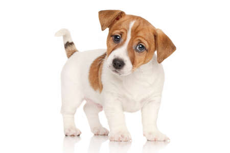 Photo pour Jack Russell terrier puppy in front of white background - image libre de droit