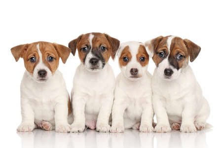 Photo for Group of Jack Russell terrier puppies in front of white background - Royalty Free Image