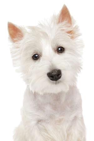 Photo pour Close-up portrait of Highland white Terrier westie isolated - image libre de droit