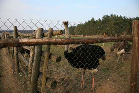 Ostriches farm in Polish country. Poland.