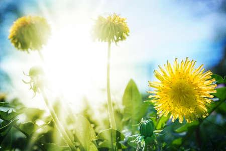 Foto de Dandelion in sunshine - Imagen libre de derechos