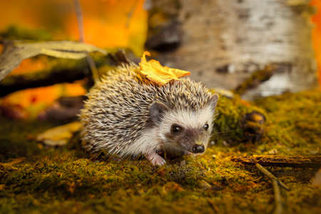 Photo for African pygmy hedgehog on moss - Royalty Free Image