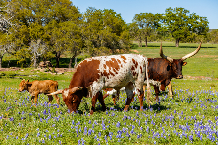 Photo pour Cattle grazing in a bluebonnet field on a ranch in the Texas Hill Country. - image libre de droit