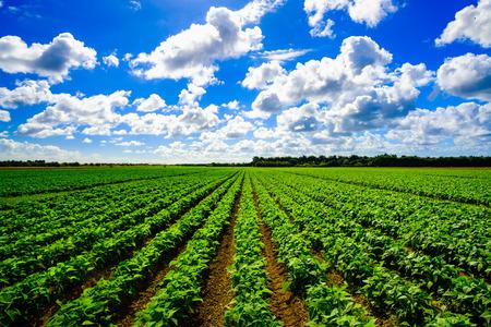 Photo pour Landscape view of a freshly growing agriculture vegetable field. - image libre de droit