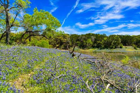 Photo pour Beautiful bluebonnets along a lake in the Texas Hill Country. - image libre de droit