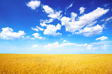 Photo for Wheat field and blue sky with clouds - Royalty Free Image
