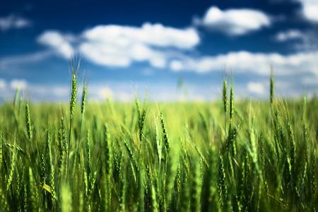 Foto de Wheat field against blue sky with white clouds. Agriculture scene - Imagen libre de derechos