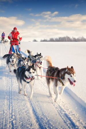 Photo for Woman musher hiding behind sleigh at sled dog race on snow in winter - Royalty Free Image