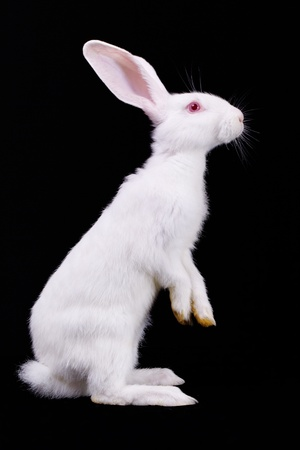 White rabbit standing on its hind legs  Side view  Black background