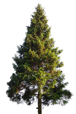 Photo for Fir tree isolated on white - Royalty Free Image