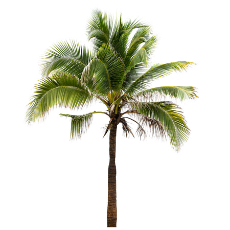 Photo pour Coconut tree isolated on white background - image libre de droit