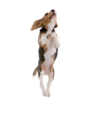 Cute adorable beagle jumping high looking like he is flying
