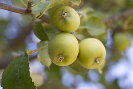 Foto de Small green apple - Imagen libre de derechos