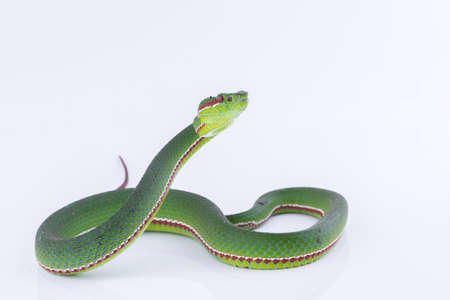 Foto de Green pit viper bites on white background ,Snake of Thailand - Imagen libre de derechos