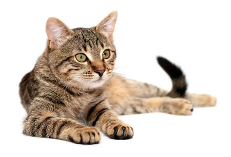 Foto de Tabby cat lying on white background - Imagen libre de derechos