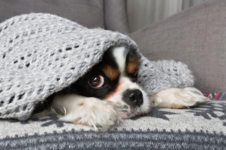 Photo pour cute dog under the warm grey blanket - image libre de droit