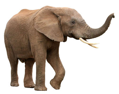 Large male African elephant with long curved tusks - isolated
