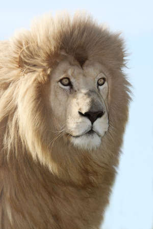Handsome male white lion with a large mane and piercing eyes