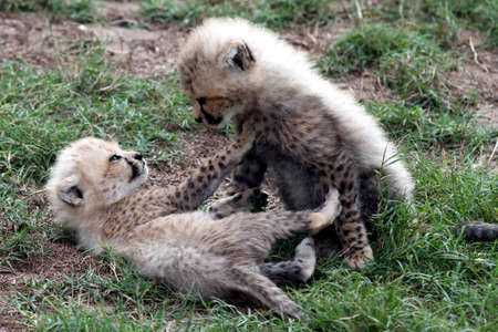 Two very young cheetah cubs play fighting