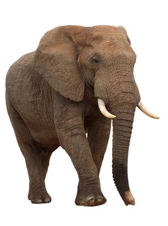Large male African elephant isolated on white