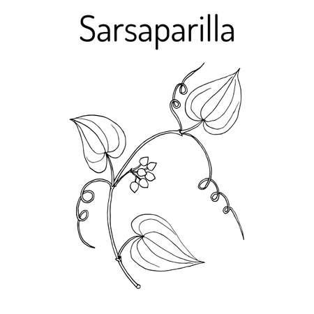 Ilustración de Sarsaparilla Smilax ornata , trailing vine - Imagen libre de derechos