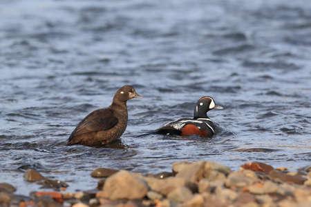 Foto de Harlequin Duck (Histrionicus histrionicus) Iceland - Imagen libre de derechos