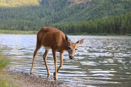 Foto de white-tailed deer at a alpine lake, Glacier National Park, Montana - Imagen libre de derechos