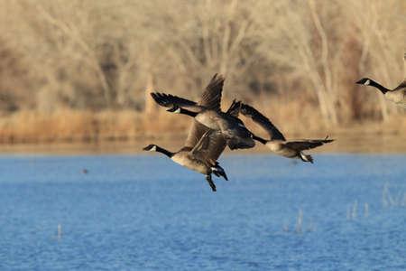 Foto de Canada goose (Branta canadensis)  New Mexico - Imagen libre de derechos