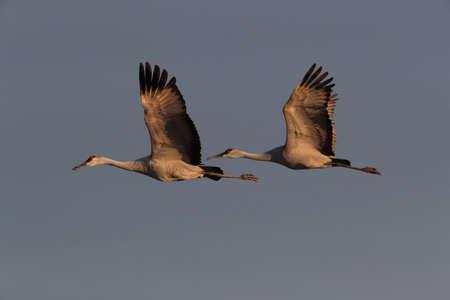 Foto de Sandhill Crane Bosque del Apache Wildlife Reserve New Mexico USA - Imagen libre de derechos