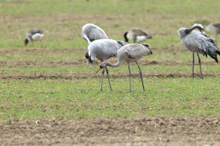 Foto de Common cranes in the field Mecklenburg Germany - Imagen libre de derechos