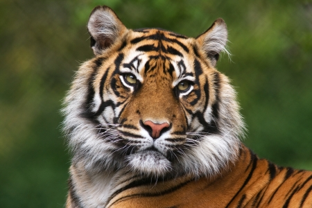Portrait of bengal tiger staring