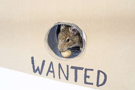 Photo for Small Australian home pet Degu. Isolated on white background. - Royalty Free Image