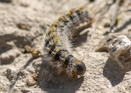 Foto de close up seleticve focus of a processionary, caterpillar thaumetopoea pityocampa - Imagen libre de derechos