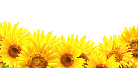 Photo for Border with sunflowers. Isolated - Royalty Free Image