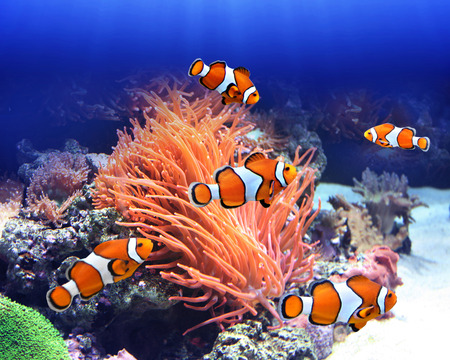 Foto de Sea anemone and clown fish in ocean - Imagen libre de derechos