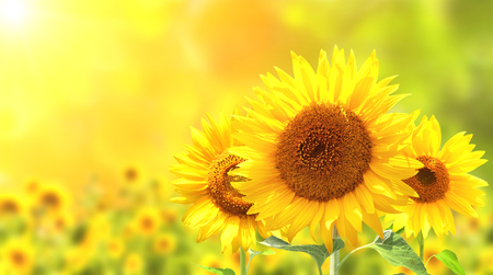 Photo pour Bright yellow sunflowers on blurred sunny background - image libre de droit