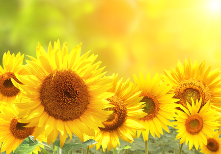 Photo for Bright yellow sunflowers on blurred sunny background - Royalty Free Image