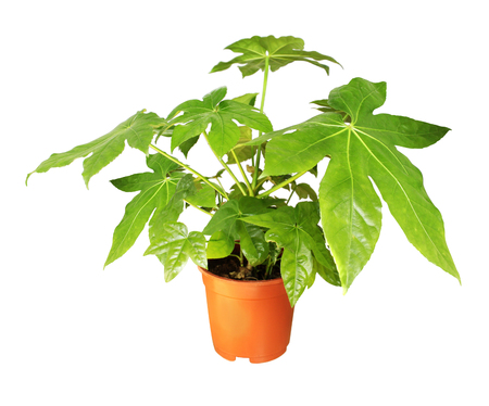 Photo for Decorative home plant Japanese fatsia (Fatsia japonica) in a pot. Isolated on white background - Royalty Free Image