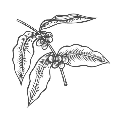 Illustration for Coffee branch, plant with leaf, berry, fruit and seed. Natural caffeine drink. Vector vintage drawn engraving illustration on white background for shop and cafe - Royalty Free Image