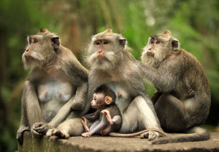 Photo for Family of monkeys. Bali a zoo. Indonesia - Royalty Free Image