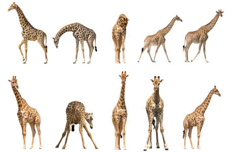 Photo for Set of ten giraffe portraits, isolated on white background - Royalty Free Image