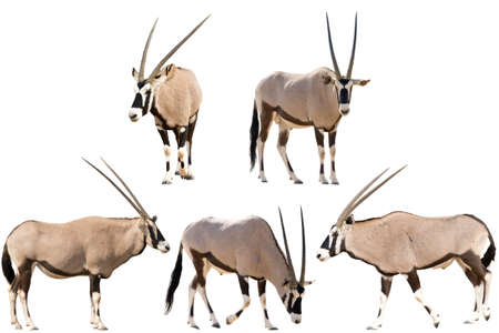 Photo pour Set of five gemsbok in different posing isolated on white background, seen at namibia, africa - image libre de droit