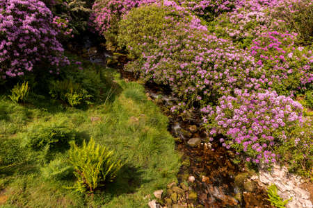 Photo pour view on rhododendron blossom at the vee, ireland - image libre de droit