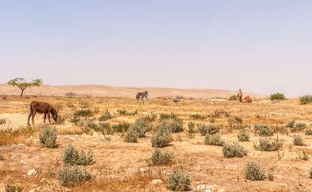 Desert landscape in Israel's Negev desert, donkey and camel in the background