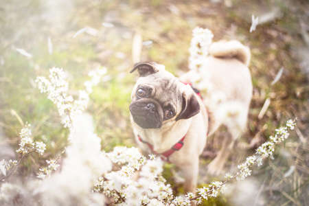 Pug in the meadow