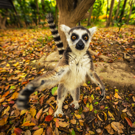 Foto de Lemur in wild at tropical park. - Imagen libre de derechos