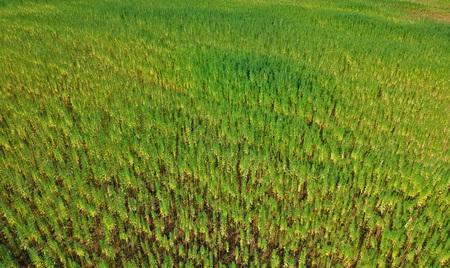 Foto de Aerial view on rows of marijuana weed field - Imagen libre de derechos