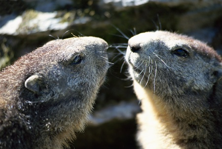 Two marmots face to face like in a mirror, in french alps, france