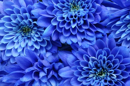 Photo pour Close up of blue flower   aster with blue petals and yellow heart for background or texture - image libre de droit