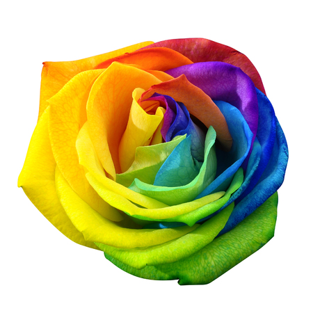 Foto de Close up of happy rose : rainbow flower with colored petals  isolated by clipping path on white background - Imagen libre de derechos